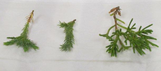 foliage-type