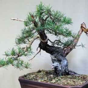 Initial styling of Jack pine#1