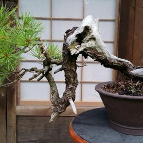 Eastern White pine asbonsai