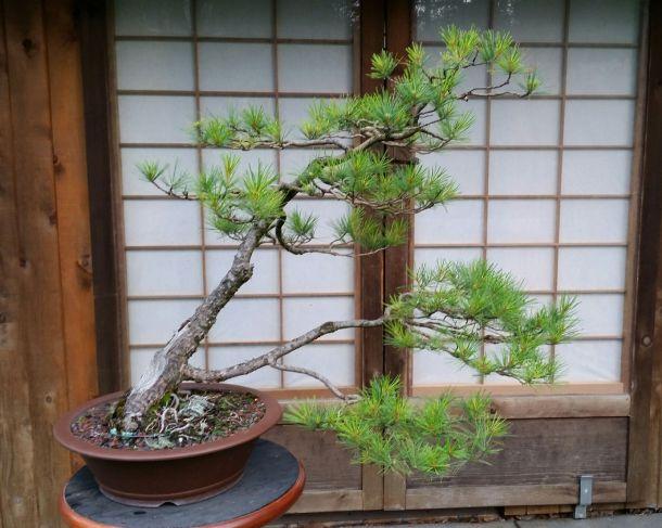 Eastern White Pine As Bonsai Bonsai Vl